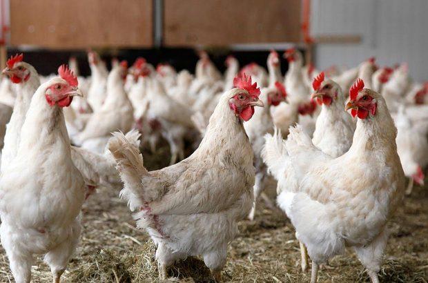 برخورد قاطع با گرانفروشان مرغ در شوش