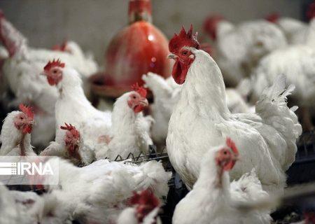 خریدوفروش مرغ زنده در کشتارگاههای خوزستان ممنوع است